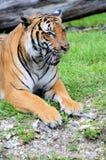 Sitzender Mund des Tigers offen Lizenzfreie Stockbilder