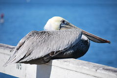 Sitzender Pelikan Stockfotografie