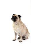 Sitzender Pug Stockbilder
