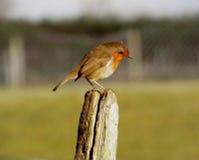 Sitzender Robin Stockbilder