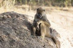 Sitzender Samt-Affe Lizenzfreie Stockbilder
