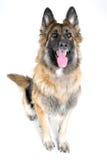 Sitzender Schäferhund Lizenzfreie Stockbilder