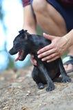 Sitzender Staffordshire-Bullterrierhund, Porträtfoto stockbilder