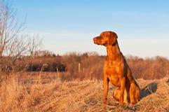 Sitzender Vizsla Hund im Früjahr Lizenzfreie Stockbilder