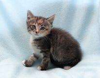 Sitzendes dreifarbiges Kätzchen Lizenzfreies Stockfoto
