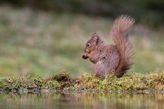 Sitzendes Essen des Eichhörnchens durch Pool lizenzfreie stockbilder
