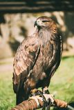 Sitzendes goldenes Eagle Haliaeetus-albicilla wild Stockfoto