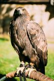 Sitzendes goldenes Eagle Haliaeetus-albicilla wild Stockbilder