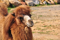 Sitzendes Kamel Lizenzfreie Stockfotografie