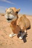 Sitzendes Kamel in der Wüste Stockfotografie