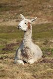 Sitzendes Lama 2 Royalty Free Stock Photography