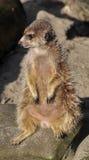 Sitzendes meercat Stockfotografie