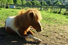 Sitzendes Pony auf dem Feld stockfotos