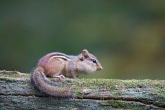Sitzendes Streifenhörnchen Lizenzfreie Stockfotografie