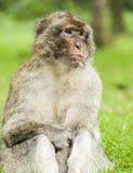 Sitzendes Untersuchung Barbary-Makakens weg den Abstand Stockbilder