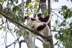 Sitzt seltener Maki gekröntes Sifaka, Propithecus Coquerel, eine Frau mit einem Jungen auf einem Baum, Ankarafantsika-Reserve, Ma Stockfotografie