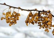 Sitzung des Herbstes zum Winter Die Blätter der Akazie haben nicht Zeit, zum Wintereinbruch zu fliegen Stockfotografie