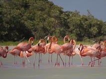 Sitzung von Flamingos im Fluss Lizenzfreies Stockbild