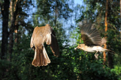 Sitzung von zwei fliegenden weiblichen Trauerschnäppern nahe dem Nest Stockfoto