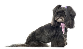 Siude view of a Lhassa apso looking back, isolated Royalty Free Stock Photo