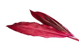 Siväxt eller Cordylinefruticosasidor, färgrik lövverk, exotiskt tropiskt blad som isoleras på vit bakgrund Royaltyfri Bild