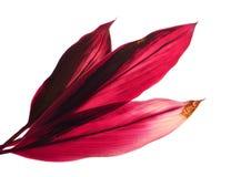 Siväxt eller Cordylinefruticosasidor, färgrik lövverk, exotiskt tropiskt blad som isoleras på vit bakgrund med den snabba banan royaltyfria bilder