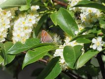 Siva Juniper Hairstreak Butterfly arkivbild