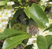 Siva Juniper Hairstreak Butterfly royaltyfria foton