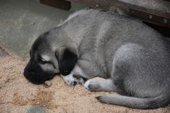 The Sivas Kangal Dog Anatolian Shepherd Dog Turkey Stock Photo