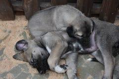 The Sivas Kangal Dog Turkey royalty free stock photography