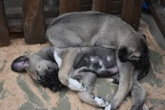 The Sivas Kangal Dog Anatolian Shepherd Dog Turkey Royalty Free Stock Photography