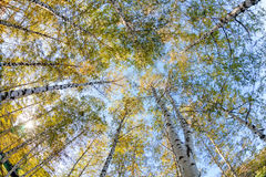 Siver birch trees Stock Photo