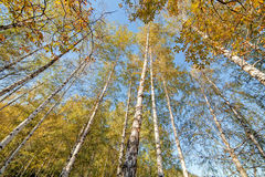 Siver birch trees Royalty Free Stock Photography