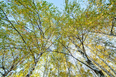 Siver birch trees Stock Photos