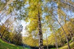 Siver birch trees Stock Image