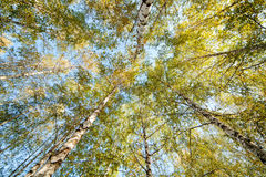 Siver birch trees Stock Photography