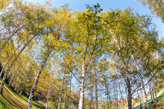 Siver birch trees Stock Images