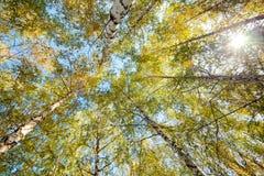 Siver birch trees Stock Photos