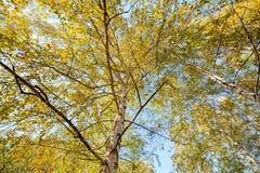 Siver birch trees Stock Photo