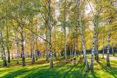 Siver birch trees Royalty Free Stock Photo
