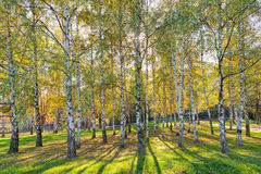 Siver birch trees Royalty Free Stock Images