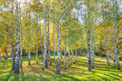 Siver birch trees Royalty Free Stock Image