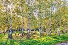 Siver birch trees Royalty Free Stock Photos