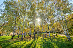 Siver birch trees Stock Image