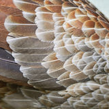 Siver Pheasant feather. Silver Phesant feather background in female profile Stock Images