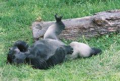 Siverback gorilla Arkivfoton