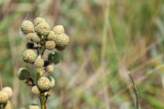Sivestre pequeno da flor em botão fotografia de stock royalty free