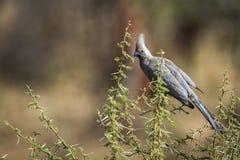 Siwieję iść oddalony ptak w Kruger parku narodowym, Południowa Afryka obrazy stock