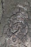 Siwieję pękał barkentynę koński kasztan Obrazy Royalty Free