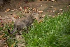 Siwieję paskował pięknego i przygotowywający kot jest outdoors w trawie Zdjęcia Royalty Free